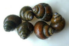 Trapdoor Snails FREE SHIPPING Japanese Black Trap Door Pond Snail Algae Eater