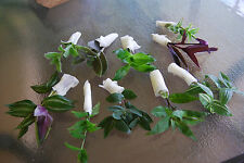 Lot of Wandering Jew Tradescantia - Many Varieties Types - Instant Collection!