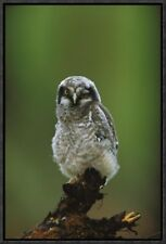 'Northern Hawk Owl Chick Portrait' Framed Photographic Print on Canvas