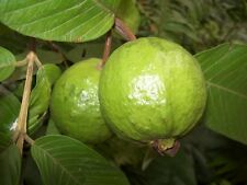 Guava Tropical Exotic Fruiting Perennial Ornamental Fruit Tree Seeds