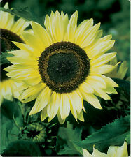Sunflower Seed: Lemon Queen Sunflower Seeds    Fresh Seed   FREE Shipping