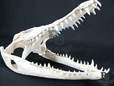 "PELGIO Real Freshwater Crocodile Skull Taxidermy Head 11"" with CITES Free Ship"