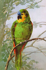 KLEIN PARROT ON A BRANCH Vintage Postcard Image Photo, Card Or Art Print KL004