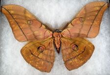 "Insects/Moth/ Antheraea ssp. - Male 7 1/4"" Type III"