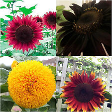 100/200/500 Mixed Sunflower Seeds Red Yellow Black Giant Head Garden Flower Seed