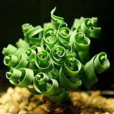 Spiral Grass Shape Like Spring 10 Seeds - Indoor Bonsai Plant