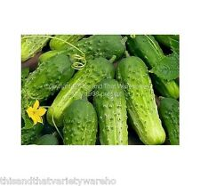Boston Pickling Cucumber Seed  Garden Seeds! Fast Shipping From USA! Non GMO