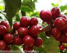 Coffee Tree Seed Coffea canephora robusta Tropical Seeds Fast Shipping from USA!