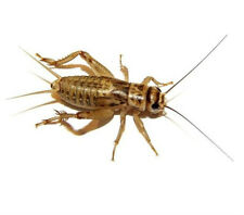 Live Crickets 25-250 count ALL SIZES & FREE SHIPPING Starting at $9.99