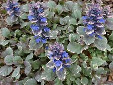 Ajuga & Strawberry Begonia Collection Your Choice Shade Groundcover Bugleweed