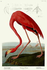 No. 431 Flamingo John James Audubon Double Elephant Folio Fine Art Print Giclee