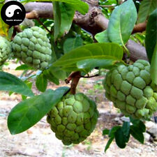 Buy Annona Squamosa Fruit Tree Seeds Plant Sweetsop Grow Sugar Custard Apple