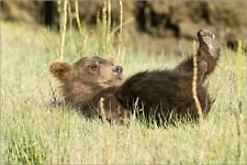 Poster / Leinwandbild Coastal Brown Bear cub at Silver Salmo... - R. Bendjebar