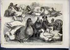 Antique Print 1865 Prize Birds Birmingham Poultry Show Pigeon Ducks 84MAR1