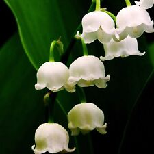 Lily Of The Valley Fragrance Oil Candle/Soap Making, Oil Burners, Diffusers