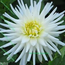 POTTED 1 LITRE MY LOVE CACTUS DAHLIA BULBS WHITE GARDEN SUMMER PERENNIAL PLANT