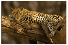 Leopard In Tree Large 36 x 24 Inch Maxi Wall Poster New - Laminated Available