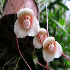 10~200 pcs Rare! Monkey Face Orchid Flower plant Seeds Plant Seed Bonsai New