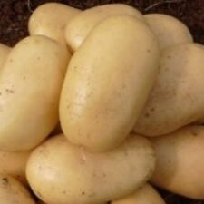 Seed Potatoes LADY CHRISTL. High yields of uniform tubers early in the season