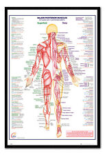 Framed Human Body Major Posterior Muscles Poster New