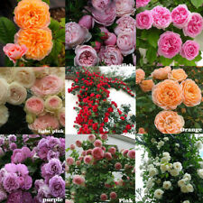 100X climbing rose rosa multiflora perennial fragrant flower seeds home dec P sa