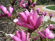 ANN TULIP MAGNOLIA TREE - Loads of Spring Blooms - LIVE PLANTS -(Pick your size)