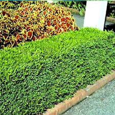 KOREAN BOXWOOD - Fast growing, cold hardy evergreen - LIVE PLANTS (Pick a size)