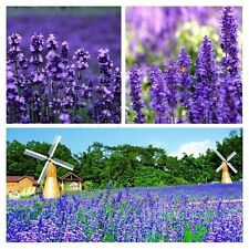 Provence LAVENDER VERA Augustifolia Herb Flower Seeds + Gift & Comb