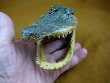 (g-def-131) Deformed Gator ALLIGATOR Aligator HEAD teeth TAXIDERMY weird gators