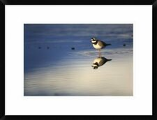 'Common Ringed Plover, West Fjords, Iceland' Framed Photographic Print