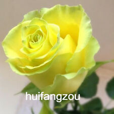 Yellow Annual Outdoor 30 Garden Yard Rose Flower Seeds Plant Free Shipping