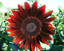 Sunflower Seed: Moulin Rouge Sunflower Seeds  Fresh Seed   FREE Shipping