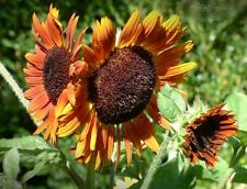 Sunflower Seed:  Cappucino Sunflower Seeds  Fresh Seed  FREE SHIPPING