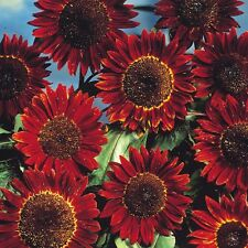 Sunflower Seed: Prado Red Sunflower Seeds Fresh Seed  FREE Shipping