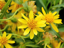 FREE GIFT!!! ARNICA FLOWERS WHOLE BULK HERB NON-GMO-1,2,3,4,5,6 LBS-MEXICO
