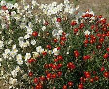Rock Rose 50 Seeds (Helianthemum Mutabile) Mixed Colours