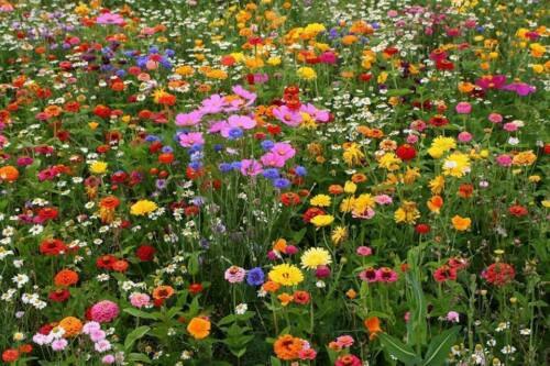 Deer Resistant Wildflower Seed Mix, 13 Species, Variety Sizes, FREE SHIPPING