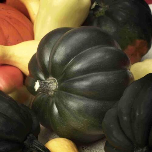 Table Queen Acorn Winter Squash Seeds, NON-GMO, Variety Sizes, FREE SHIPPING
