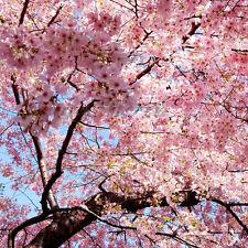 30 Japanese Cherry Tree Pink Cloud Oriental Sweet Prunus Serrulata Flower Seeds