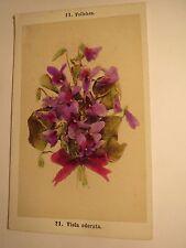 Veilchen - Viola odorata - Pflanze / CDV