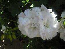 Ivy Geranium / Pelargonium Snow White x 1 Plant
