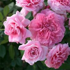 Rose Plant Zaide Rose Fragrant Flowers Bouquet Pink Blooms