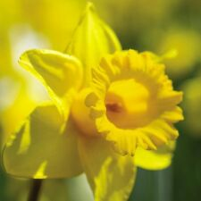 Retirement Blank Card - Spring Yellow Daffodil -  FREE 1st Class Postage!