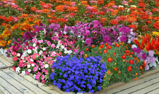 seeds 10 packets FLOWER ANNUALS sow SUMMER climate TEMPERATE