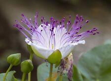 """Echter Kapernstrauch """"Capparis spinosa"""" mit wunderschönen essbaren Blüten"""