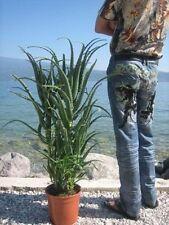 Aloe arborescens große Mutterpflanze 5 bis 6 Jahre alt