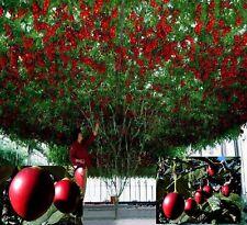 unglaublich viele Früchte Zimmerobst Südlicher Tomatenbaum Tamarillo  ☼  Samen