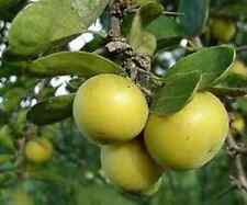 KEI APPLE, RARE EXOTIC FRUIT, EXTREMELY DROUGHT TOLERANT.  20 + FRESH SEEDS