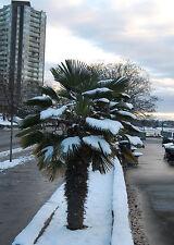 5 Pflanzen Washingtonia-Palme winterhart / schnellwüchsig & schön blühend !