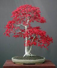 Japanese Red Maple Acer palmatum atropurpureum 50  Seeds Bonsai or Feature